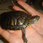 Причины аллергической реакции на черепах