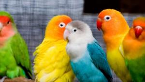 Пух попугаев