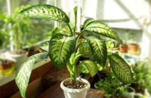 Диффенбахия - красивое, но аллергенное растение